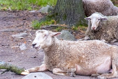 Really funny laughing sheep... Royalty Free Stock Photos