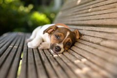 Funny Lazy Puppy Royalty Free Stock Photography