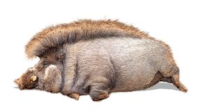 Funny Lazy Warty Pig Extracted stock images