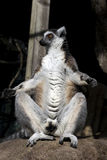 Funny lemur. Close up of funny lemur sat with legs open stock photography