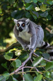 Funny lemur with big eyes on tree. Funny lemur waiting and look on me Stock Images