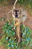 Funny lemur Royalty Free Stock Photos