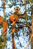 Funny lemur Kirindy. The red-fronted lemur (Eulemur rufifrons), also known as the red-fronted brown lemur in the Kirindy Mitea National Park, in Madagascar Royalty Free Stock Photos