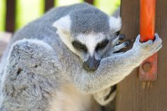 Funny lemur outdoor Stock Image