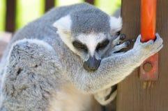 Funny lemur outdoor Stock Image