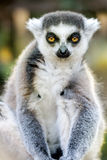 Funny Lemur Portrait. On Blurred Background royalty free stock image
