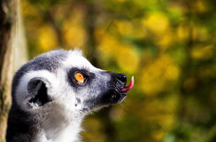 Funny Lemur. Sticking out tongue royalty free stock photo