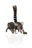 Funny lemurs Stock Image