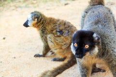 Funny lemurs madagascar Stock Photos
