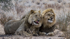 Funny lion brothers Stock Photos