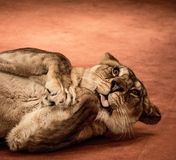 Funny lioness Stock Image