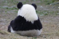 Free Funny Little Baby Panda Cub In China Royalty Free Stock Photos - 132712808