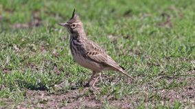 Funny little bird, Crested lark on ground Galerida cristata Wildlife Close up stock footage