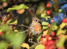 A funny little bird, the European Robin sitting in the garden am. Ong the bright red juicy berries Stock Photography