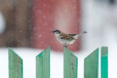Funny little bird sitting on a wooden fence in the Christmas sno. W Stock Photos