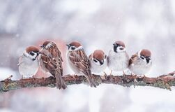 Free Funny Little Birds Sparrows Are Sitting On A Tree Branch In Winter Garden Under Falling Snowflakes And Cheerfully Tweet Stock Photo - 174447650