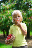 Funny little boy eating fresh picked cherry in cherry garden Royalty Free Stock Photos