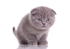 Funny little britich kitten Royalty Free Stock Photos