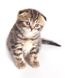 Funny little british kitten Royalty Free Stock Photos