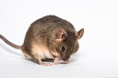 Funny little brown mouse. White background studio Royalty Free Stock Images