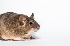 Funny little brown mouse. White background studio Stock Images