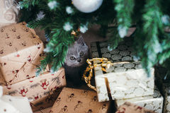 Funny little cat and christmas tree Royalty Free Stock Photography
