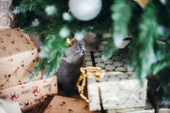Funny little cat and christmas tree Royalty Free Stock Photo