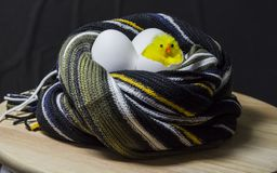 Chick hatched from an egg. In the nest of a scarf. Three eggs stock photography