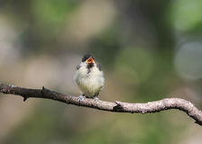 Funny little chick tit sitting on a branch in spring Park Royalty Free Stock Photography