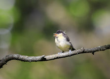 Funny little chick tit sitting on a branch staring with wide ope Stock Image
