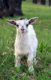 Funny little curious goatling Stock Images