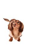 Funny little dachshund distorted by wide angle closeup Royalty Free Stock Images