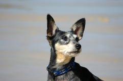Funny little dog Stock Photo