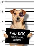 Funny little dog black eye  mugshot holding placard for identification at police station