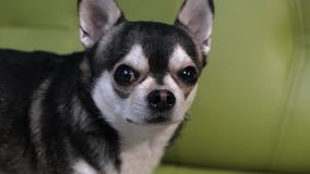 Funny little dog Chihuahua sitting on a green couch, playfully looks at the camera.