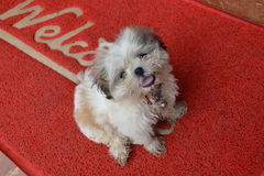 Funny little dog. Funny cute dog on the door mat with the inscription Welcome Stock Photography