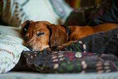 Funny little dog, the dachshund is sleeping sweetly on the couch. Between the pillows Royalty Free Stock Image