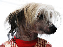 Funny little dog dressed in shirt Royalty Free Stock Photography