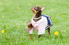 Funny little dog in green grass. Funny little dog in clothing standing in green grass Stock Image