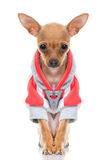 Funny Little Dog In Jacket Stock Image