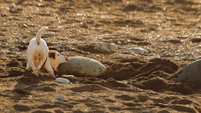 Funny little dog, Jack Russell Terrier, is trying to dig up something hidden under the big rock on the wild sandy beach. Funny little dog, Jack Russell Terrier stock footage