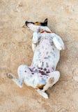 Funny little dog. Stock Photos