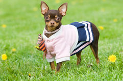 Funny little dog outside. Funny little dog in clothing standing in green grass Royalty Free Stock Images