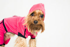 Funny little dog in pink clothes with a hood Royalty Free Stock Image