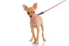 Funny little dog with pink leash Stock Photos