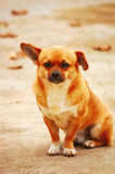 Funny little dog Stock Images