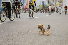 Funny little dog watching on Mass bicycle ride in city, marathon. Sport, fitness and healthy lifestyle concept. Abstract. Funny little dog watching on Mass royalty free stock image