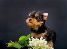 Funny little dog Yorkshire terrier puppy Stock Photo