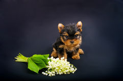 Funny little dog Yorkshire terrier puppy Stock Images