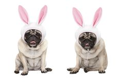 Funny little easter pug puppy dogs, sitting down, wearing easter bunny cap with ears. Isolated on white background royalty free stock images